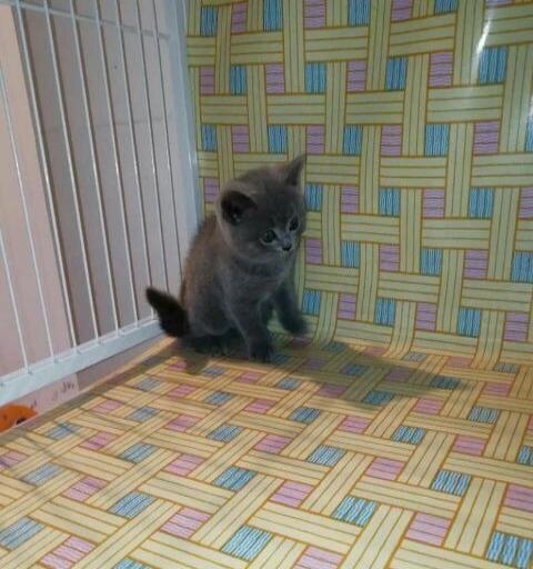 出售自家散养小蓝猫