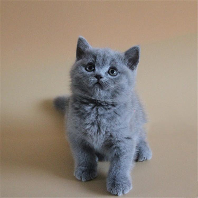 广东广州双血统蓝猫多少钱能买