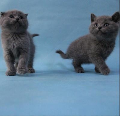 专业繁育纯种布偶猫 甜美可爱