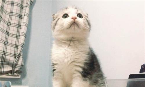 博爱宠物专业家庭繁殖折耳美短蓝猫美短加菲波斯等