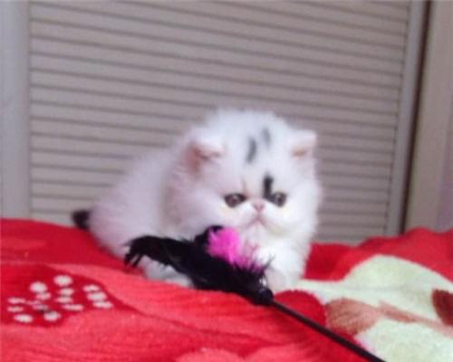 博爱宠物只给你较好较健康的猫咪多个品种任你选购
