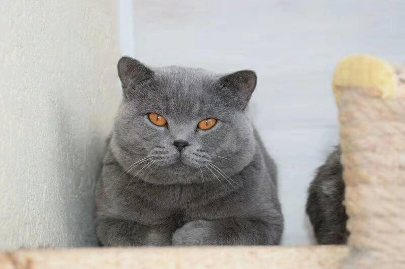 哪里有出售精品宠物蓝猫包纯种健康送货上门
