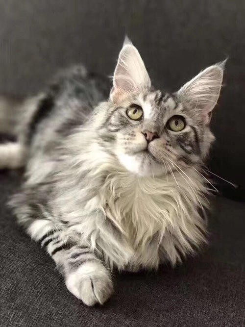 出售高品质曼基康猫 矮脚猫 温顺可爱黏人