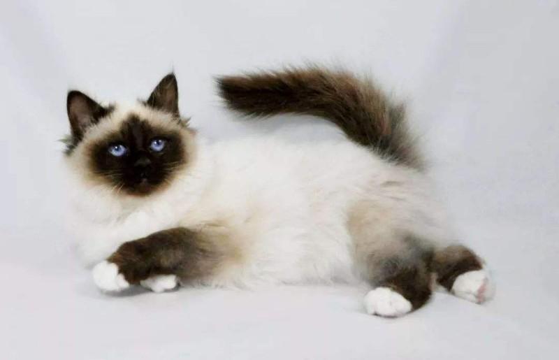 大量猫舍直销 健康纯种 猫咪出售