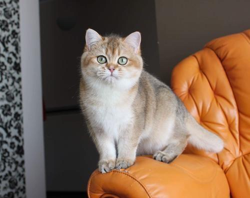 布偶猫 高端精品 治愈系甜美可爱
