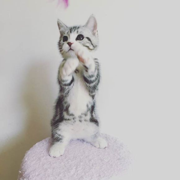 江西宜春纯血美国短毛猫哪里卖