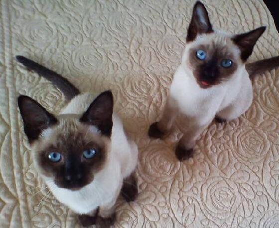 哪里有出售精品宠物暹罗猫包纯种健康送货上门